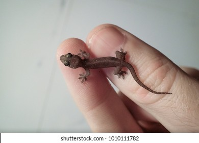 Baby Common House Gecko, displayed on a human finger and thumb. Caught climbing a wall in Singapore.