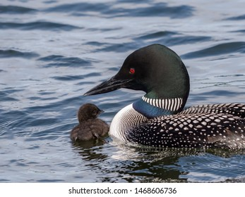 A baby common loon chick swimming with its parent
