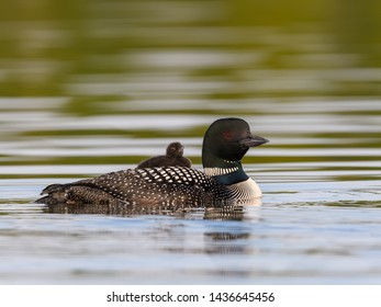 A baby common loon chick takes rides on the back of its parent