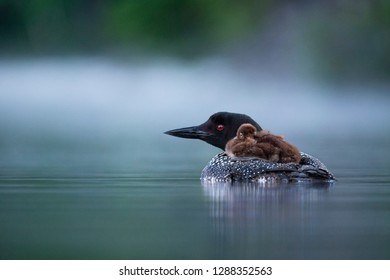 A baby Common Loon rides on the back of its parent on a calm pond in the early morning with fog on the water.