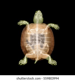 Baby cooter turtle X-ray.