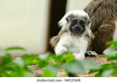 A baby Cotton-Top Tamarin Monkey