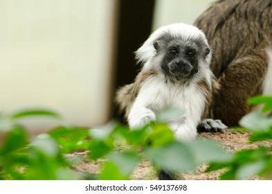 A baby Cotton-Top Tamarin Monkey