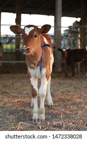 Baby cow or cattle in farm. Cute brown cattle milk farming for dairy or milk
