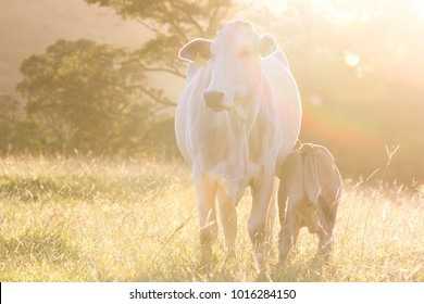 Baby cow feeding in the afternoon light in an open pasture in Costa Rica