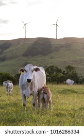 Baby cow feeding in the afternoon light in an open pasture in Costa Rica with windmills in the background