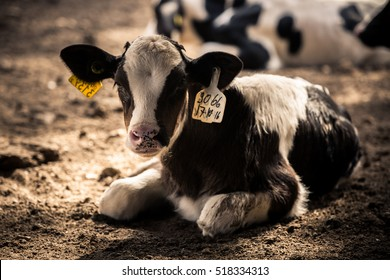 Baby cow locked