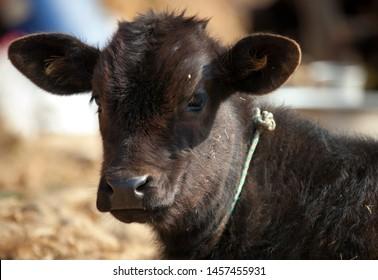 baby cow looking at camera