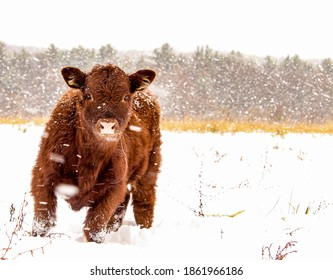 baby cow running during a snowstorm
