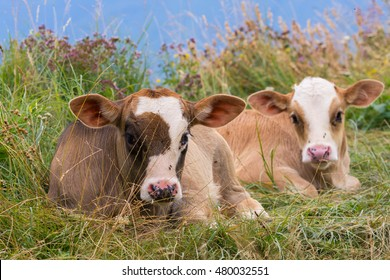 Baby cows on a mountain pasture looking at the camera