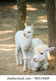 baby Cria alpaca  with its mother standing beside