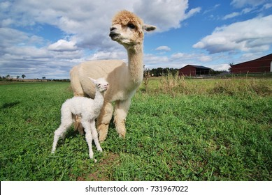 A baby Cria alpaca recently born with its mother standing beside