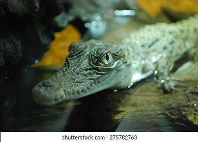 Baby crocodile in Australia.