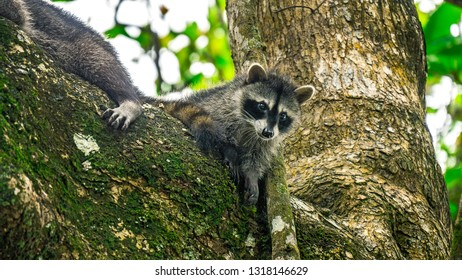 Baby cub racoon with his mother on tree branch staring in cahuita national park costa rica