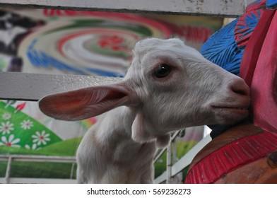 Baby cute Goat