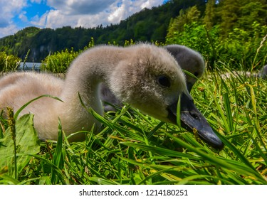 Baby cygnets foraging for for food