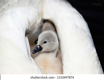 Baby cygnets riding on swans back