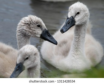 baby cygnets in water