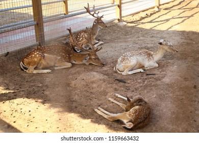 baby deer Bambi