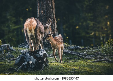 Baby Deer Bambi in the Forest during Summer