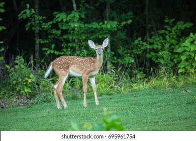 A baby deer doe in the forest looking at you