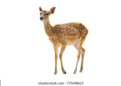 baby deer isolated in white background