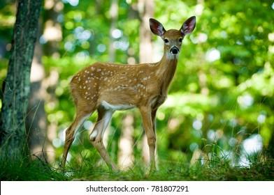 Baby Deer standing in forest
