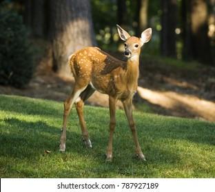 Baby Deer standing on yard grass