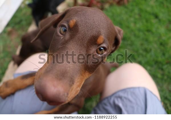 Baby Dobermans Super Cute Puppies Stock Photo Edit Now 1188922255