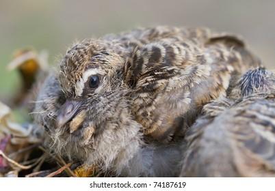 Baby dove.