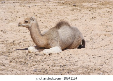 Baby Dromedary / Arabian Camel laying in the sun
