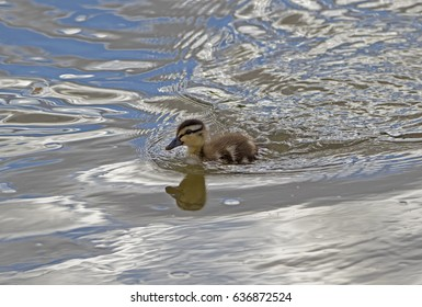 Baby Duck in a canal in Phoenix, Arizona