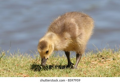 A baby duck eating on the edge of a lake