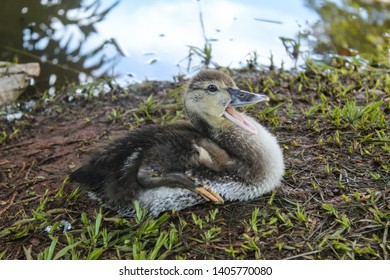 Baby duck opening his mouth doing quack on the lake nature