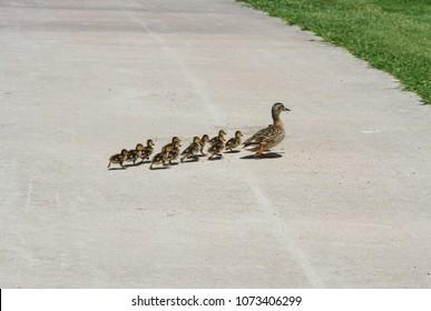 Baby Ducklings Walking Behind Momma Duck Following Her
