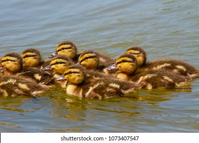 Baby Ducks Swimming in the Lake