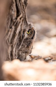 A baby Eagle owl looking with it's large yellow eye from behind a camelthorn tree.