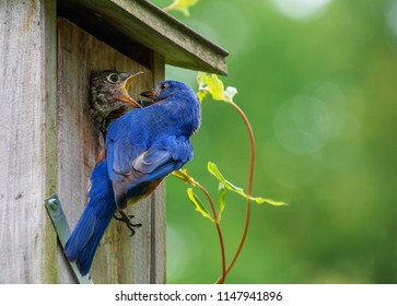 Baby eastern bluebird opens mouth for more  but parent has no more food.  Open space green background