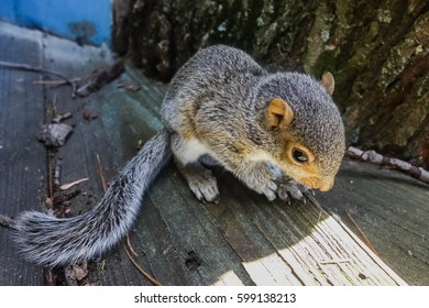 Baby eastern gray squirrel.