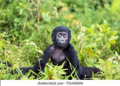Baby of eastern mountain gorilla (Gorilla beringei beringei)  in Bwindi Forest National park, Uganda.