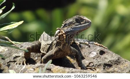 Baby Eastern Water Dragon Intellagama Lesueurii Stock Photo Edit