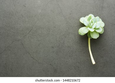 Baby echeveria succulent plant over dark background. Top view.