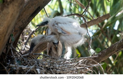 Baby egrets in nest waiting for meal