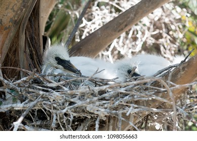 Baby Egrets in nest waiting for mom to come home with food