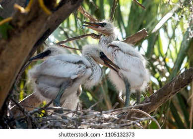 Baby Egrets playing in nest while waiting for mom to come home with food