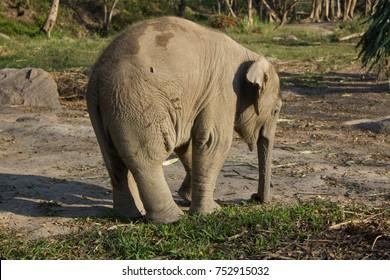 baby elephant, 6 month, Tara, Thailand