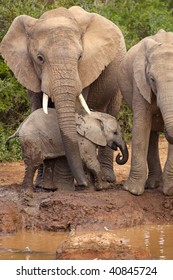 Baby elephant being protected by its mother