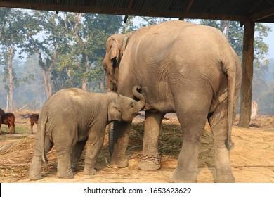 BABY ELEPHANT BREASTFEEDING. ELEPHANT BREASTFEEDING IN CHITWAN