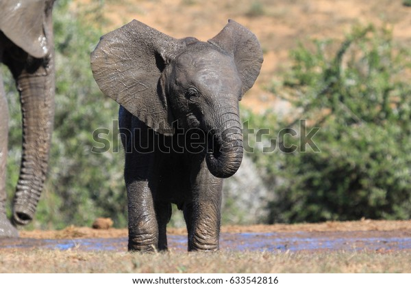 Baby Elephant Ears Flapping Stock Photo Edit Now 633542816