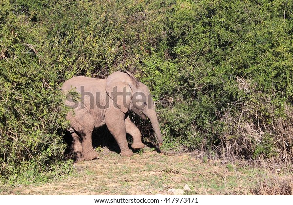 A baby elephant emerges from thick bush
